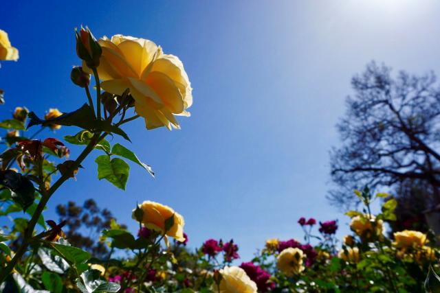 roses roses.png